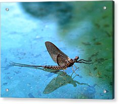 Mayfly Reflected Acrylic Print