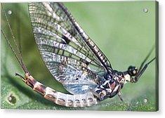 Mayfly Acrylic Print by Richard Thomas