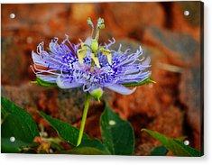 Maypop Flower Acrylic Print by Adam LeCroy