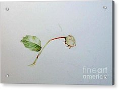Mdme. Alfred Carriere Acrylic Print