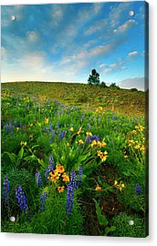 Meadow Gold Acrylic Print by Mike  Dawson