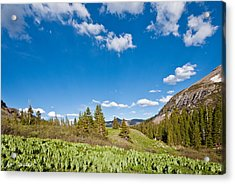 Acrylic Print featuring the photograph Meadow Of False Hellebore by Jeff Goulden