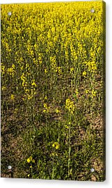 Meadow Of Rapes Acrylic Print by Svetlana Sewell