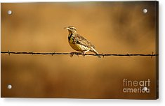 Meadowlark And Barbed Wire Acrylic Print by Robert Frederick