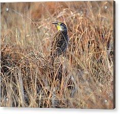 Meadowlark In Grass Acrylic Print