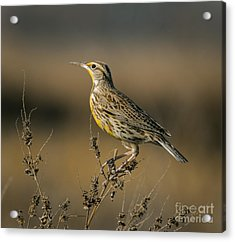 Meadowlark On Weed Acrylic Print by Robert Frederick