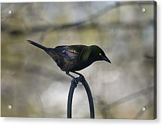 Mean Mr. Grackle Acrylic Print by Ross Powell