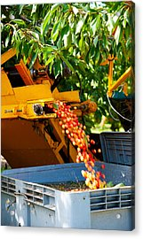 Mechanical Harvester Shaking Cherry Acrylic Print by Panoramic Images
