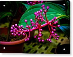 Medinilla Singapore Flower Acrylic Print by Donald Chen