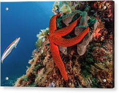 Mediterranean Red Sea Star On Reef Acrylic Print by Alexis Rosenfeld/science Photo Library
