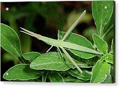Mediterranean Slant-faced Grasshopper Acrylic Print by Nigel Downer