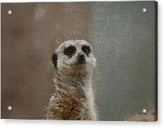 Meerkat 5 Acrylic Print by Ernie Echols