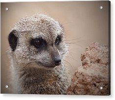 Meerkat 7 Acrylic Print