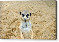 Meerkat Acrylic Print by Aimee L Maher Photography and Art Visit ALMGallerydotcom