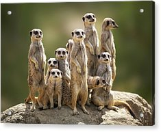 Meerkat Family On Lookout Acrylic Print