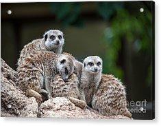 Meerkat Family Acrylic Print