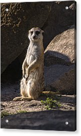 Meerkat Looking Forward Acrylic Print