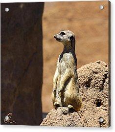 Meerkat Lookout Squared Acrylic Print