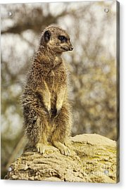 Meerkat On Hill Acrylic Print