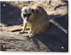 Meerkat Resting On A Rock Acrylic Print by Chris Flees