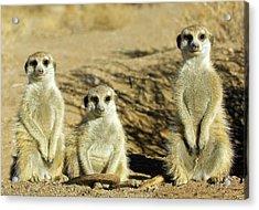 Meerkats Acrylic Print