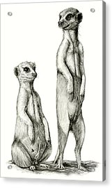 Acrylic Print featuring the drawing Meerkatte by Heidi Kriel