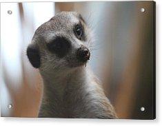 Meerket - National Zoo - 01133 Acrylic Print