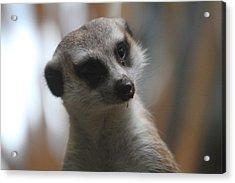 Meerket - National Zoo - 01134 Acrylic Print by DC Photographer