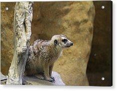 Meerket - National Zoo - 01135 Acrylic Print by DC Photographer