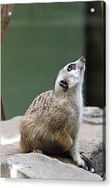 Meerket - National Zoo - 01138 Acrylic Print by DC Photographer