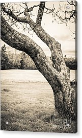 Meet Me Under The Old Apple Tree Acrylic Print by Edward Fielding