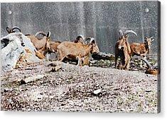 Meeting Of Barbary Sheep Acrylic Print