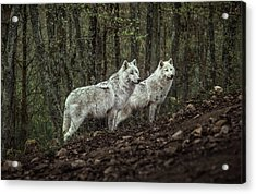 Meeting With White Wolves Acrylic Print