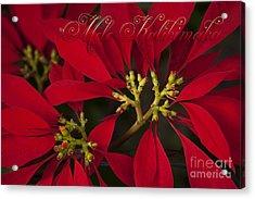 Mele Kalikimaka - Poinsettia  - Euphorbia Pulcherrima Acrylic Print by Sharon Mau