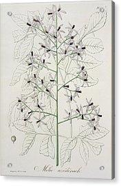 Melia Azedarach From Phytographie Acrylic Print by LFJ Hoquart