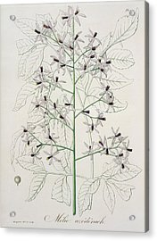 Melia Azedarach From 'phytographie Medicale' By Joseph Roques Acrylic Print by L F J Hoquart