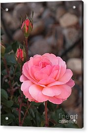 Memorial Day Rose Acrylic Print by Phyllis Kaltenbach