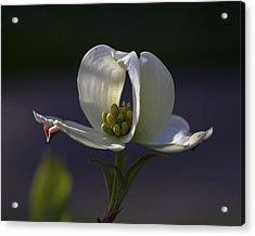 Memory - A Dogwood Blossom Acrylic Print