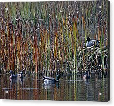 Menagerie Of Ducks Acrylic Print by Rhonda Humphreys