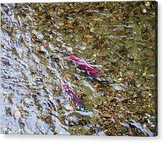 Mendenhall Salmon Acrylic Print