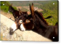 Menorcan Donkeys Acrylic Print
