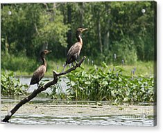 Double-crested Cormorant Shared View Acrylic Print