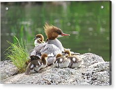 Merganser With Chicks Acrylic Print by Acadia Photography