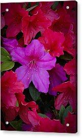 Merging Azaleas 2 Acrylic Print