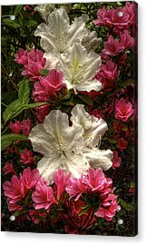 Merging Azaleas  Acrylic Print