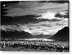 Merinos At Lake Wakatipu Acrylic Print
