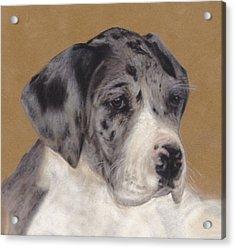 Merle Great Dane Puppy Acrylic Print by Loreen Pantaleone