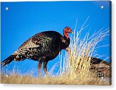 Merriams Turkey Acrylic Print by William H. Mullins