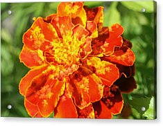 Merry Marigold Acrylic Print by Barbara S Nickerson