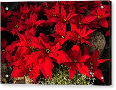 Merry Scarlet Poinsettias Christmas Star Acrylic Print